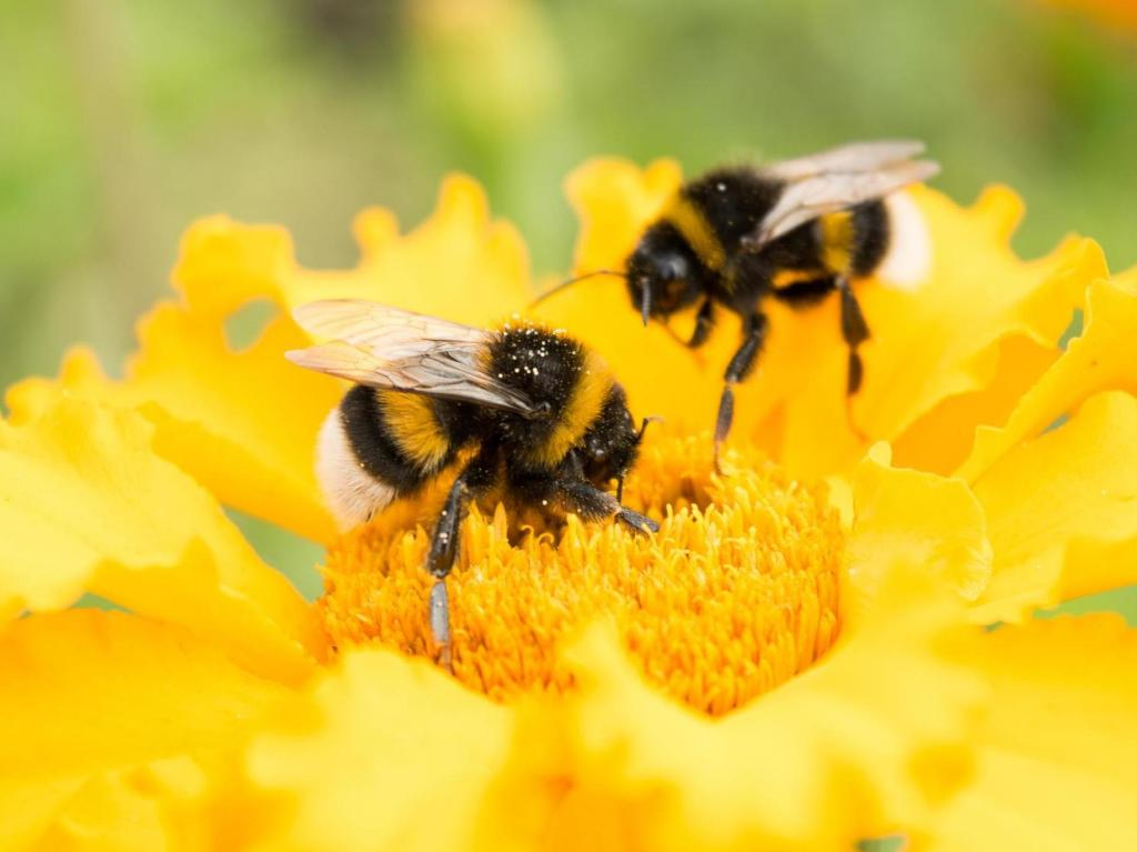 Bees gathering nectar on a yellow flower