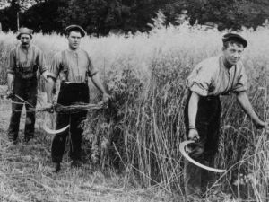 Scything the grain in the early 20th centuary