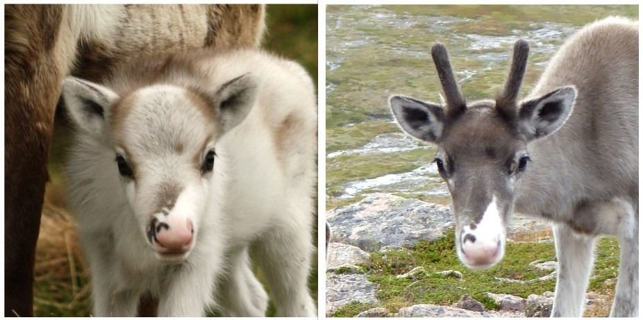 Clootie's calf as a baby and three months later in the Cairngorm Reindeer herd.